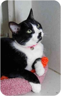 Domestic Shorthair Cat for adoption in Manchester, Missouri - Minnie
