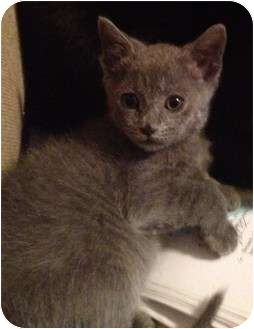 Domestic Shorthair Kitten for adoption in Greenville, South Carolina - Boo Boo