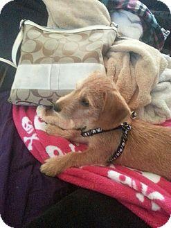 Dachshund Mix Puppy for adoption in bridgeport, Connecticut - Doozer