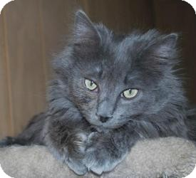 Domestic Mediumhair Cat for adoption in Prescott, Arizona - Sproket