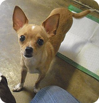 Chihuahua Mix Dog for adoption in Wickenburg, Arizona - Bella