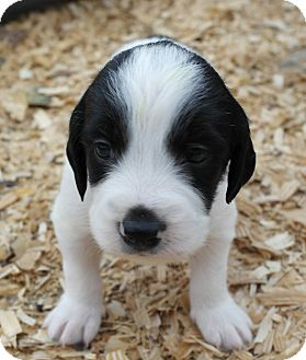 Pointer/Border Collie Mix Puppy for adoption in Seneca, South Carolina - Pearl $200