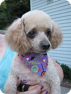 Poodle (Miniature) Dog for adoption in Salem, Oregon - Whiskey