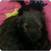 Adopt A Pet :: Callie - Phoenix, AZ