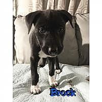 Adopt A Pet :: Brock - Marlton, NJ