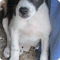 Adopt A Pet :: Goofy - San Ysidro, CA