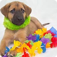 Adopt A Pet :: Jupiter - Millersville, MD
