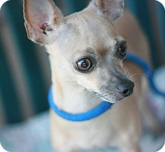Chihuahua Dog for adoption in Canoga Park, California - Cindy