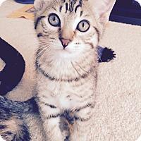 Adopt A Pet :: Ko Shamo - St. Louis, MO