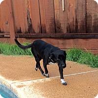 Adopt A Pet :: Tia-Adoption Pending - Pleasanton, CA