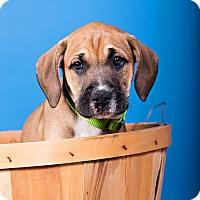 Adopt A Pet :: Athena - Houston, TX