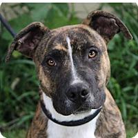 Adopt A Pet :: GILBERT - Red Bluff, CA