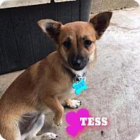 Adopt A Pet :: Tess - Houston, TX