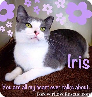 Domestic Shorthair Cat for adoption in Gettysburg, Pennsylvania - Iris