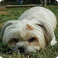 Shih Tzu/Havanese Mix Dog for adoption in Scottsboro, Alabama - Bam Bam