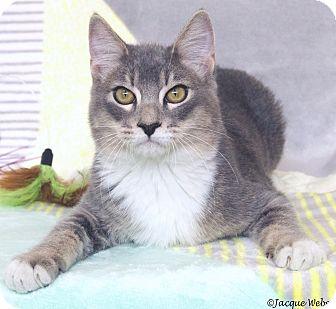 Domestic Shorthair Cat for adoption in St Louis, Missouri - Churchill