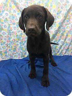 Labrador Retriever Mix Puppy for adoption in Chichester, New Hampshire - Fudge--in NH!