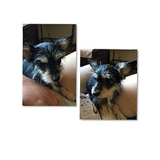 Yorkie, Yorkshire Terrier Mix Dog for adoption in South San Francisco, California - Quinn