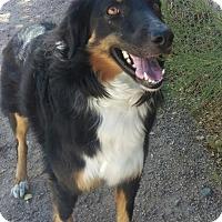Australian Shepherd Mix Dog for adoption in Mesa, Arizona - Dakota