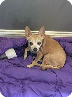 Chihuahua Mix Dog for adoption in Hayes, Virginia - Lil Bit