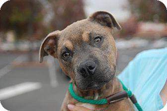 Mastiff Mix Dog for adoption in Sunnyvale, California - Boyd