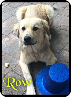 Great Pyrenees/Australian Cattle Dog Mix Dog for adoption in Maumelle, Arkansas - Rowan (Row) - Foster / 2016