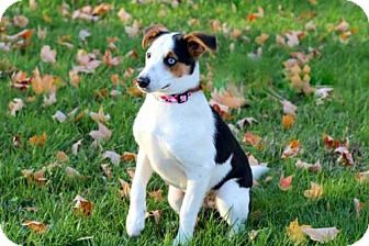 Rat Terrier Mix Puppy for adoption in Andover, Connecticut - PUPPY ADORABLE NORA