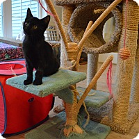 Domestic Shorthair Kitten for adoption in St. Charles, Missouri - Amabalis