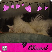Adopt A Pet :: Chanel - Washington, PA