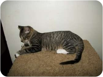 Domestic Shorthair Cat for adoption in Modesto, California - Mohawk