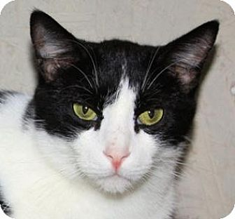 Domestic Shorthair Cat for adoption in St. James City, Florida - Apache
