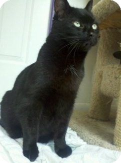 Domestic Shorthair Cat for adoption in Richboro, Pennsylvania - Edgar Allan Poe