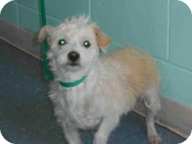 Lhasa Apso/Poodle (Miniature) Mix Dog for adoption in Hollywood, Florida - Cristy