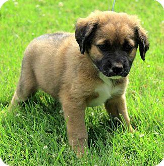 Liam | Adopted Puppy | DG | Brattleboro, VT | St. Bernard ...