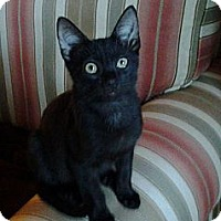 Adopt A Pet :: Othello - St. Petersburg, FL