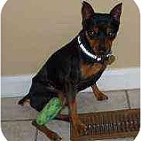 Adopt A Pet :: Benny - Florissant, MO