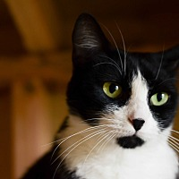 Domestic Shorthair Cat for adoption in Eureka, California - Minnie