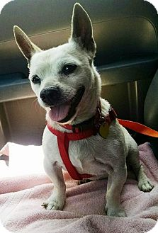 Chihuahua/Pug Mix Dog for adoption in Los Angeles, California - Woody