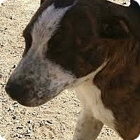 Adopt A Pet :: Iron Man - Fort Collins, CO
