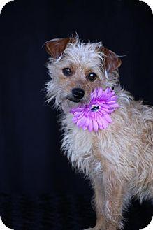 Yorkie, Yorkshire Terrier/Poodle (Miniature) Mix Dog for adoption in SAN PEDRO, California - Gretel