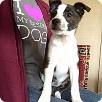 Adopt A Pet :: Vasquez - Broken Arrow, OK