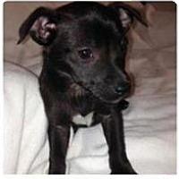 Adopt A Pet :: 2 Tiny PUPS LEFT! - Pompton lakes, NJ