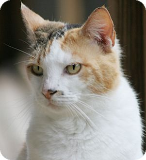 Domestic Shorthair Cat for adoption in North Fort Myers, Florida - Dott