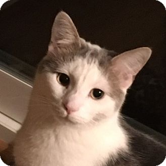 Domestic Shorthair Cat for adoption in Fairfax, Virginia - Spuds
