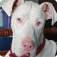 Adopt A Pet :: Pixel - Oswego, IL