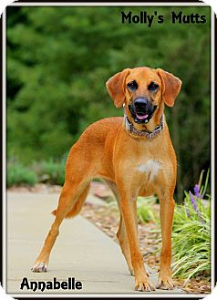 Bloodhound/Labrador Retriever Mix Dog for adoption in Dixon, Kentucky - Annabelle
