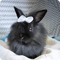 Adopt A Pet :: Holly - Montclair, CA