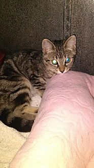 Domestic Shorthair Kitten for adoption in Bloomingdale, New Jersey - Joy Joy