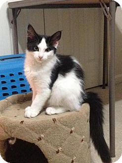 Domestic Mediumhair Cat for adoption in Toledo, Ohio - BANDIT