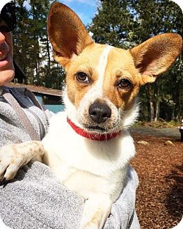 Australian Cattle Dog/Corgi Mix Puppy for adoption in Eugene, Oregon - Taffy
